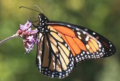 Make Food for Struggling Monarch Butterflies With 3 Recipes Using Your Leftovers : TreeHugger