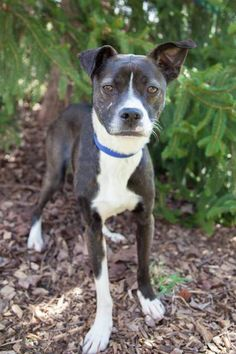 **ADOPTABLE DOG** Roo is a 3 year old terrier mix looking for his forever home in Charlotte, NC.