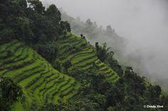 Nepal, rice fields