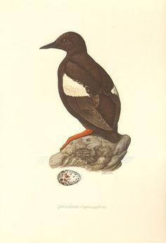 1953 Black Guillemot or Tystie  Cepphus grylle Vintage Offset