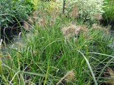 Pennisetum alopecuroides Little Bunny South Devon, All Plants, Seaside, Coastal, Bunny, Herbs, Cute Bunny, Beach, Herb