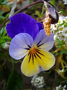 Simple little pretty pansy.