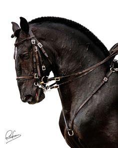 Cavalo Lusitano / Portuguese Horse | #Portugal #Porto #Portoholidays