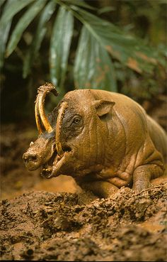 Babirusas - The babirusas will sharpen the tusks against trees and use them during disputes with rivals.- Several tour operators in Manado, the capital of North Sulawesi, organise trips to the Adudu Nantu and Tangkoko nature reserves, where a number of babirusas reside. - Picture: FLPA