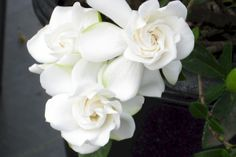 Gardenias....what a fragrance!