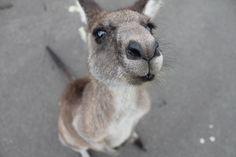 Kangaroo, Cute Animal, Animal, Cute, Mammal, Wallaby