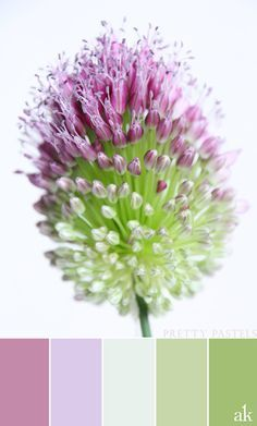an allium-inspired color palette // pink, purple, green, pastel, allium sphaerocephalon
