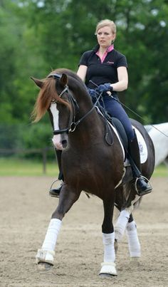 Belissimo HS, German Riding Pony