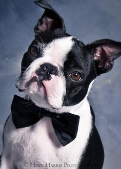 Boston Terrier photo by Hope  Harris by patrica