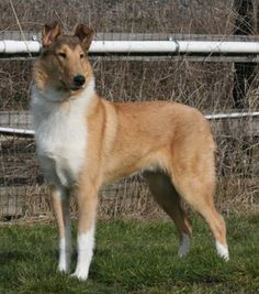 Beautiful smooth collie