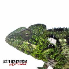 Reptile Cage Decoration Crocodile Skull Hideout Lizard Iguana Snake Chameleon