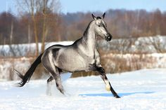 A silver-colored Akhal Teke. I cannot actually say what color this is. Probably a gray with a lovely phase of getting white. I would like to know the name of the horse, if I could find some info about its pedigree or something.