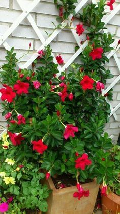 Mandevilla Dipladenia: Heat tolerant and water efficient tropical. In Zone it is best to plant in a pot in order to bring it indoors during cooler winter days/nights. Grows quickly and is easily trained on a trellis, fertilize during the summer. Tropical Garden, Winter Garden, Planting Flowers, Plants, Beautiful Flowers, Hanging Garden, Trellis Plants, Climbing Flowers, Container Gardening