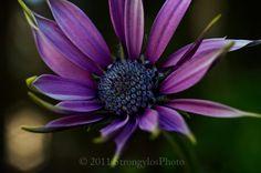 purple daisy flower photo 8x12 macro flower by StrongylosPhoto, $30.00