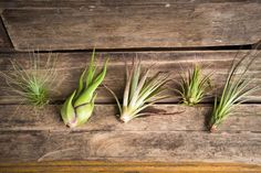 how to take care of air plants types of Tillandsias watering lighting tips
