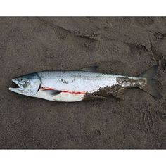 【hana1525chi】さんのInstagramをピンしています。 《本日の釣果♂1綺麗な1匹でした。#知床#オホーツク#鮭#アキアジ#マス#釣り#ぶっこみ#斜里#北海道#空#イマソラ#海#ねこ#ネコ#cat#鮭児》