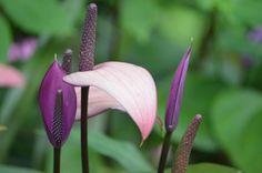 Barbados Lilac Lily