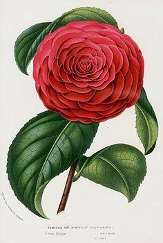 """1845 Charles Lemaire, Louis Van Houtte """"Camellia japonica"""" Print."""