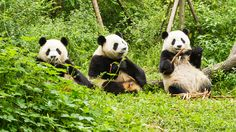 パンダ、絶滅危惧種から外れる