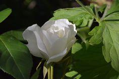 Schneewittchen – ruusu | Vesan viherpiperryskuvat – puutarha kukkii