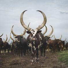 聖なる牛の神々しい姿を撮影した写真 : カラパイア