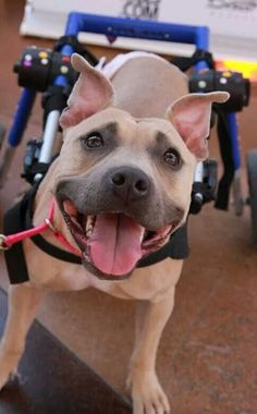 This is Lurlene from Mayday Pit Bull Rescue and Advocacy in AZ.  I love her!....and that AWESOME PIT BULL SMILE...I'm glad they don't know what alot of people think about them..