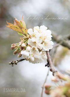 Cherry blossom - Esmeralda's