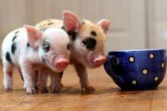 La nueva mascota de moda ha logrado acaparar la atención de chicos y grandes pues losMini cerdos, mejor conocidos comoMini Pigs, se han posicionado gracias a que una granja Inglesa desarrollo una raza muy pequeña que mide entre los 25cm y los 40 cm de altura., estos llegan a pesar 35 kilogramos y son la ...