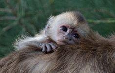 Baby Weeper Capuchin