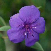 IBOLYAFA (Tibouchina urvilleana) Rose, Plants, Flowers, Pink, Plant, Roses, Planets