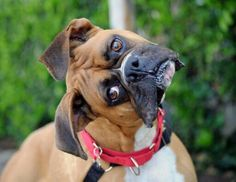 Famous boxer head tilt. This guy taking it to the next level.