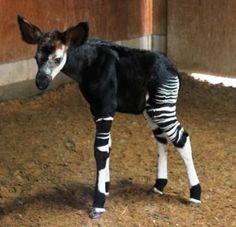 new okapi calf