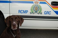 "Happy Retirement Otis! Thanks for all your hard work.    BC RCMP News reports that veteran Police Service Dog Otis # 648 aka ""Otis The Smiling Mountie"" has retired. The chocolate lab spent nine years with the BC RCMP as a drug sniffing dog."