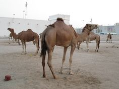 Camel Parking in Doha, Qatar