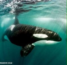 Orca, my favorite animals of all