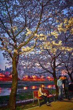 Korea- 안양천 벚꽃 야경 및 저녁노을과 함께 보고왔어요~!! 안녕하세요 잇님들~ 새벽에 배고픔을 참고 글을 쓰고 ...