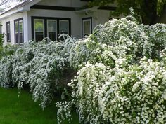 Travelling plants salesmen would roam the countryside selling these (bridal wreath spirea) to homeowners in days gone by, and we still reap the benefits. Sweet garden confection.