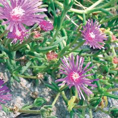 Hardy ice plant; (Delosperma cooperi) – 3 feet tall and spreading; Zones 5-11; full sun. Prefers dry sandy soil, but clay is fine. This is a great evergreen, succulent ground cover for full sun. I remember this plant from my childhood in California. We had it planted along the hot sidewalk and it was a beautiful carpet of pink daisylike flowers throughout summer. It will begin blooming in early spring through the first frost.