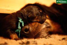 Mutter mit ihrem 5 Tage alten Welpen nach der Fütterung. Alter, Dogs, Animals, Puppys, Pet Dogs, Animales, Animaux, Doggies, Animal