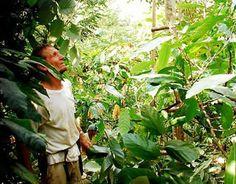"""""""...a Agrofloresta, em grande escala, resolveria não um, mais inúmeros problemas por meio de um maior aproveitamento da agricultura familiar, do reflorestamento, do cultivo de mais de 50 espécies de árvores em uma mesma propriedade, do melhoramento do solo outrora castigado pela falta de conhecimento da tecnologia da natureza"""""""