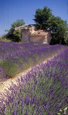Photo Lavendelfeld by Tina & Horst Herzig Photography Lavender field on Plateau de Valensole, Proven Lavender Cottage, Lavender Garden, Lavender Fields, Lavender Flowers, Lavander, French Lavender, Beautiful Flowers, Beautiful Places, Purple Flowers