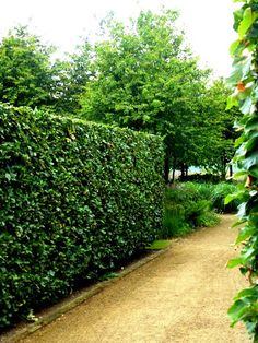 beech hedges katsura grove13