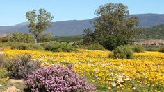 Ramskop Nature Garden   Clanwilliam   Western Cape Western Coast, Outdoor Activities, Wild Flowers, Places To Travel, South Africa, Cape, Vineyard, Southern, African