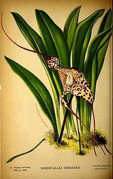 204524 Masdevallia chimaera Rchb.f. / La Belgique horticole, journal des jardins et des vergers, vol. 32: p. 313, t. 13 (1882)