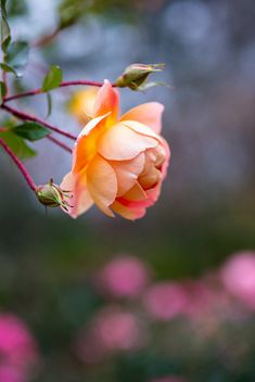 pretty little flower Rose Rise, Backyard Plants, Winter Rose, Orange Roses, Color Of Life, Beautiful Roses, Amazing Nature, Wild Flowers, Rose Flowers