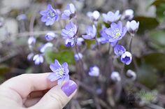 Sinivuokkoja Anemone Hepatica, Dilly Dilly, Spring Photos, My Spring, Spring Colors, Violet, Purple, Rose, Garden