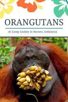 An orangutan goes bananas at Camp Leakey in Borneo.