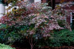 Discover front yard trees that provide curb appeal and beauty from the experts at HGTV Gardens. Garden Shrubs, Garden Trees, Garden Plants, Hillside Garden, Trees And Shrubs, Trees To Plant, Trees For Front Yard, Smoke Tree, Baumgarten