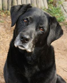 My sweet Velvette dog I Love Dogs, Cute Dogs, Animals And Pets, Cute Animals, Wolf, Black Labrador, Old Dogs, My Animal, Animal Pics