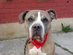 TO BE DESTROYED 4/29/14Brooklyn Center -PMy name is BAINBRIDGE. My Animal ID # is A0997518.I am a male tan and white pit bull mix. The shelter thinks I am about 6 YEARS old.I came in the shelter as a STRAY on 04/23/2014 from NY 10458, owner surrender reason stated was STRAY. MOST RECENT MEDICAL INFORMATION AND WEIGHT04/28/2014 Exam Type CAGE EXAM - Medical Rating is 3 C - MAJOR CONDITIONS , Behavior Rating is EXPERIENCE, Weight 54.3 LBS.Nasal discharge, sneezing R/O kennel cough Start on…